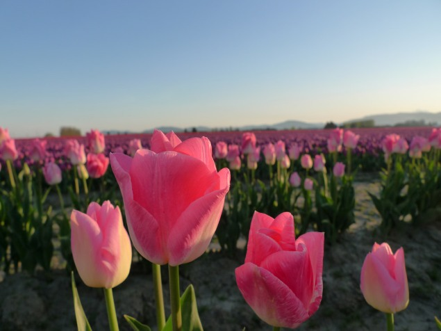 Tulip foreground, Skagit Valley.