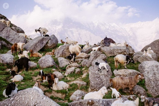 Goats of Triund Hill in the Himalayas, by Fujifilm X-Photographer Danny Fernandez.