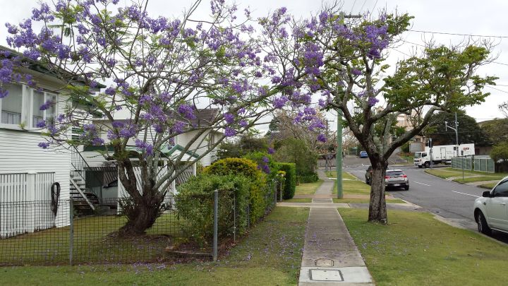 Jacaranda tree. Photo by Jillian