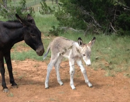 Baby donkey takes his first steps.