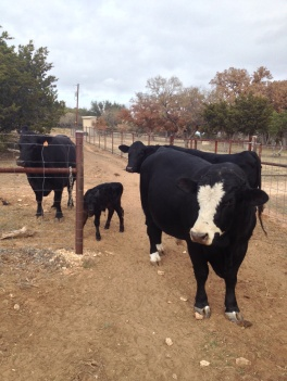Four of Christy's nine cows.